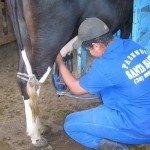 MinasGerais traite vache