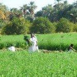 Fert Soudan recolte trefle
